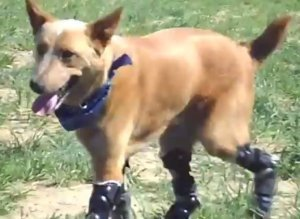 s-BIONIC-DOG-PROSTHETIC-PAWS-VIDEO-large300.jpg