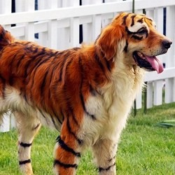 golden-retriever-tigre-06.jpg